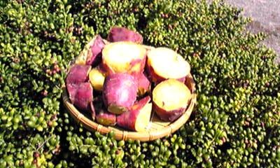 新サツマイモ