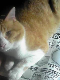 野良猫 「トラ」