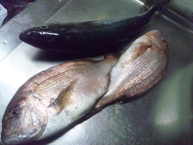 大島の鯛。