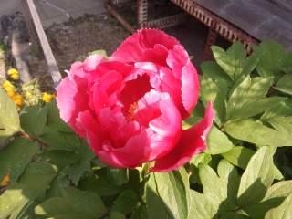 実家の花。