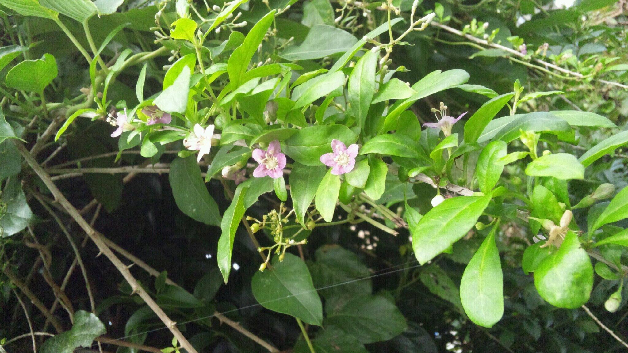 クコの花。